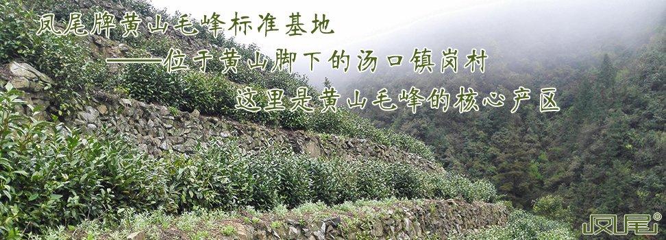凤尾牌黄山毛峰标准基地