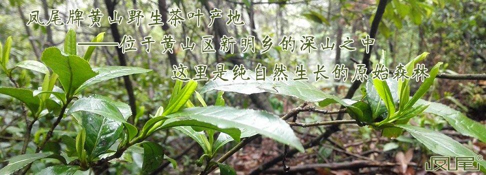 凤尾牌黄山野生茶叶产地